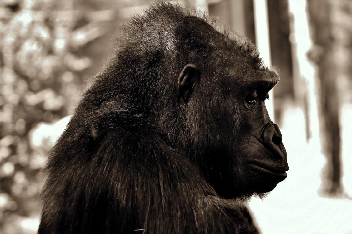 gorilla-2944021